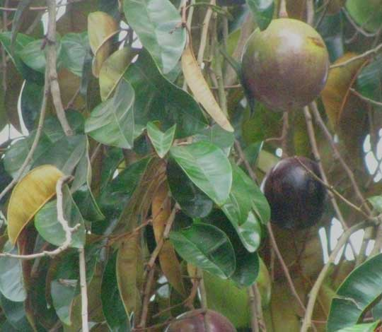 Star-Apple or Caimito, CHRYSOPHYLLUM CAINITO